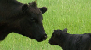 Cover photo for November Livestock News