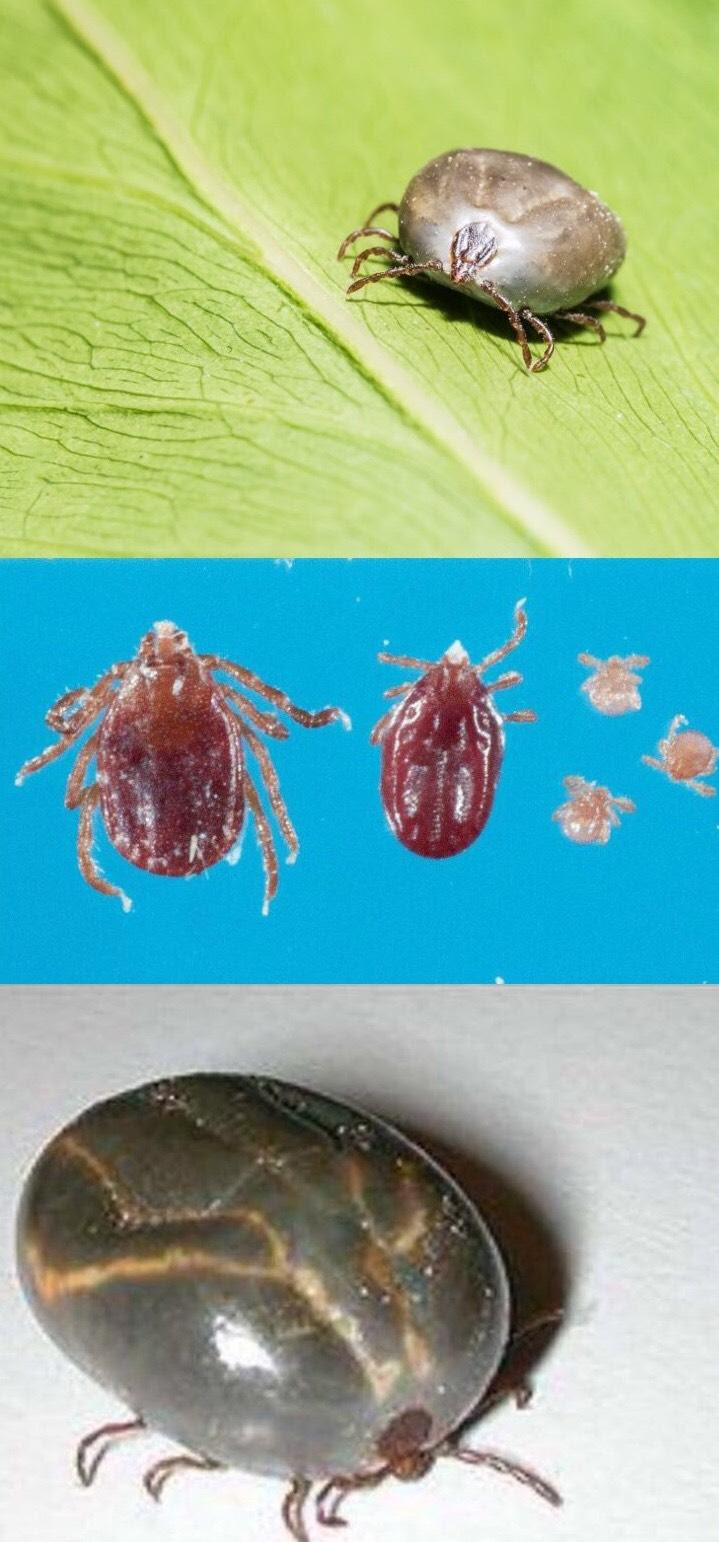 engorged and unengorged views of the Longhorned tick