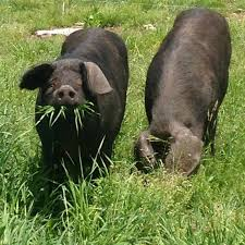 Cover photo for New Videos for Alternative Pork Producers