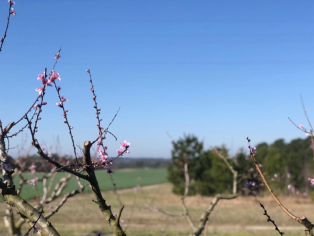 Peach Tree at Sandhills Research Station
